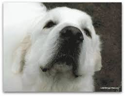great pyrenees rescue provides wonderful dogs to good homes successful great pyrenees rescue story of huey