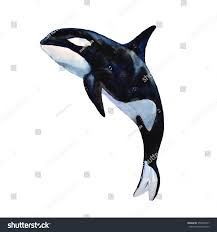 watercolor killer whale black fish grampus stock illustration