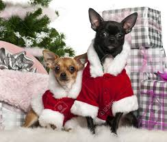 chihuahuas 18 months old and 1 year old wearing santa