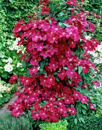 groundcovers u0026 vines gammon u0027s garden center u0026 landscape nursery