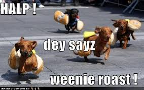 Wiener Dog Meme - i has a hotdog dachshund funny dog pictures dog memes