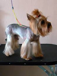 how to cut a yorkie poo s hair explore yorkie haircuts pictures and select the best style for