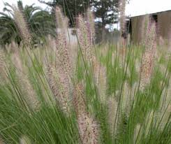 nafray is a compact drought tolerant pennisetum ornamental