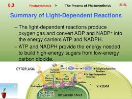 What Happens During The Light Dependent Reactions Of Photosynthesis Ch 8 Photosynthesis By Hamdy Karim