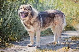 belgian sheepdog price in india caucasian shepherd dog dog breed information buying advice
