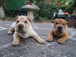 chinese shar pei dogs lying at backyard patio adogbreeds com