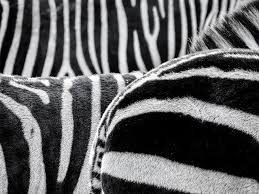 pattern formation zebra free photo wild animal drawing africa zebra stripes max pixel
