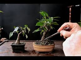 keeping a bonsai tree small dec 2016