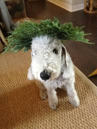 feeding a bedlington terrier 169 best bedlington terriers u0026 their sweet friends images on