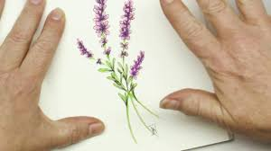 lavender flowers pen and ink drawing tutorial how to draw lavender flowers