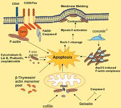 a role for actin in regulating apoptosis programmed cell death
