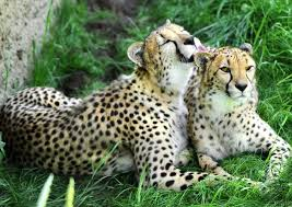 affectionate cheetahs wallpapers 77 best cheetahs images on pinterest wild animals african