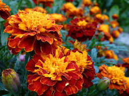 halloween city flower mound tx planting fall flowers for autumn colors list of best