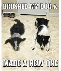 Border Collie Meme - 401 best border collies images on pinterest cats doggies and dogs