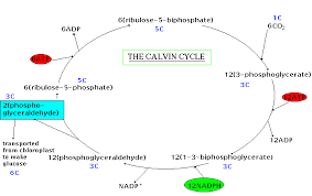 The Light Reactions Of Photosynthesis Use And Produce Overview Photosynthesis And Photophosphorylation