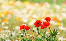 poppy field wallpapers 6805999