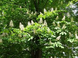 tree with white flowers white flowering chestnut tree may ultimately be big and need to