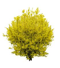 forsythia spring gold lilac bush png image pictures picpng