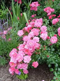 Fertilizer For Flowering Shrubs - roses for those that may lack a green thumb u2022 greenview fertilizer