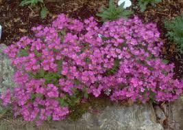 arbuste feuillage pourpre persistant vivaces couvre sol à feuillage persistant