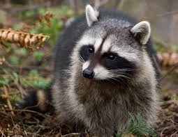 raccoon removal and trapping services manchester nh