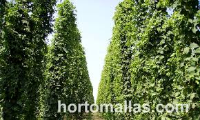 Low Trellis Hops Photo Gallery Tutoring Hops With Hortomallas