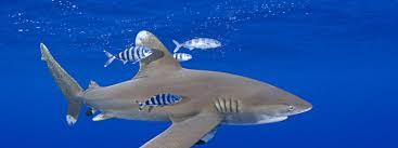 shark species wwf
