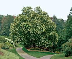 fast growing trees for impatient gardeners gardening