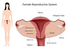 Male And Female Anatomy Female Reproductive System Guide For Ivf