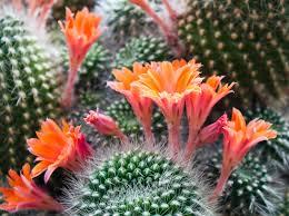 Flower Of Images - desert cactus flower the best of flower 2017