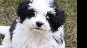 house dogs 10 best small dog breeds for indoor pets youtube