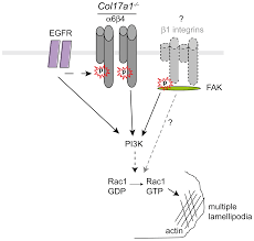 plos one transmembrane collagen xvii modulates integrin dependent