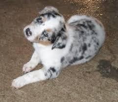 australian shepherd blue heeler mix 59 best texas heeler cuties images on pinterest animals