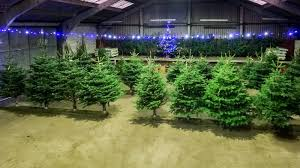 conifox edinburgh christmas trees to buy from our garden centre