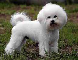 bichon frise breed standard the bichon frisé dog breed