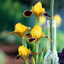iris flowers how to grow maintain and divide bearded iris