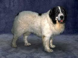 belgian shepherd x mastiff pyrenean mastiff dog breeds dog com
