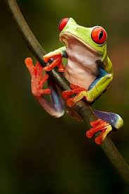 the eyed tree frog is to america and like the
