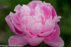 wholesale peonies peony field pricing wholesale peony farm oregon coastal flowers