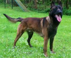belgian sheepdog puppies for sale in florida akc belgian malinois puppies for sale ph1 sire imported parents in