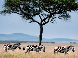 zebra african wildlife foundation