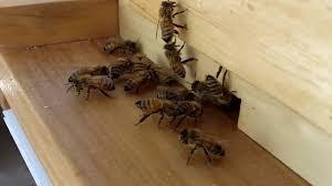 Backyard Beehive Honey Bees Bringing In Pollen To My Backyard Beehive Youtube