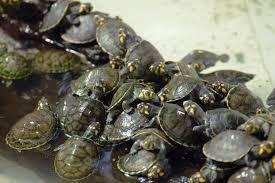 Texas Map Turtle Bee Species Inhabitat Green Design Innovation Architecture