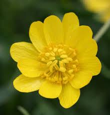 Ranunculus Ranunculus Californicus Buy Online At Annie U0027s Annuals