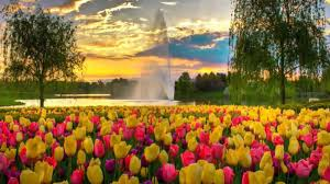 flowers park tulips ashikaga hd wallpapers pinterest japan