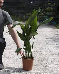 aspidistra elatior cast iron plant house of plants