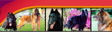belgian sheepdog breeders in ohio blak jak dogs