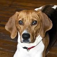 bluetick coonhound off leash new jersey treeing walker coonhound rescue u2015 adoptions u2015 rescueme org