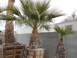 125 4ft california palm affordable tree service las vegas nv