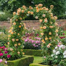 roses ideal for north facing walls david austin roses